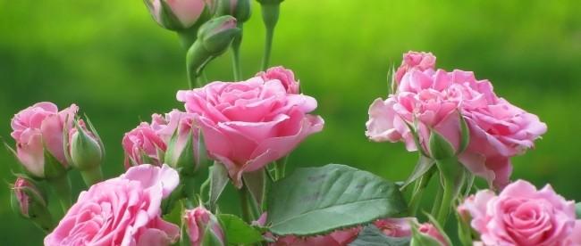 róże w ogrodzie i róże cięte w wazonach